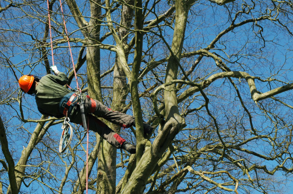 Tree timmer trimming limbs from a tree