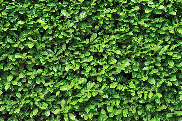 green wall of shrubbery