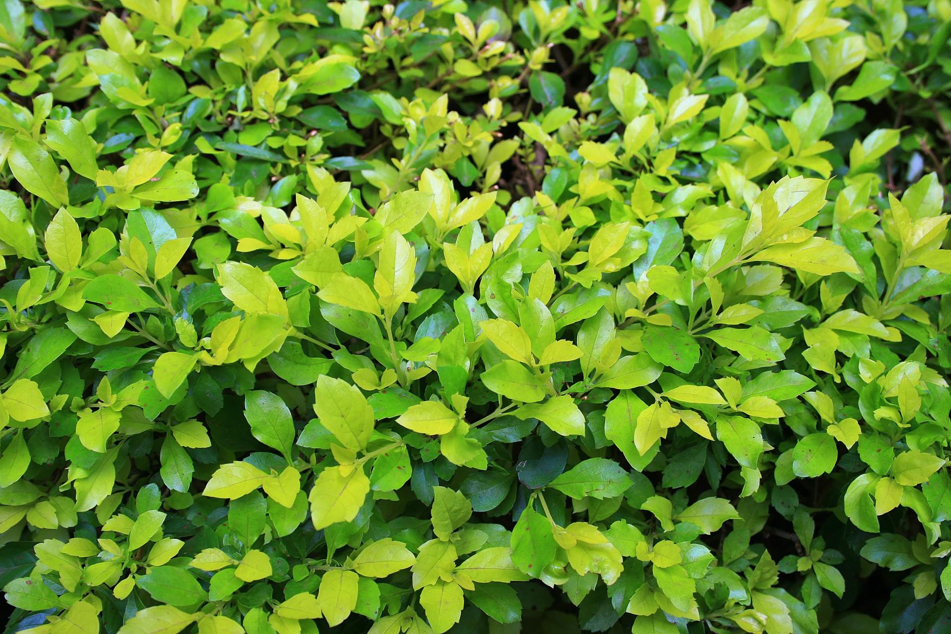 light green leaves shrubbery