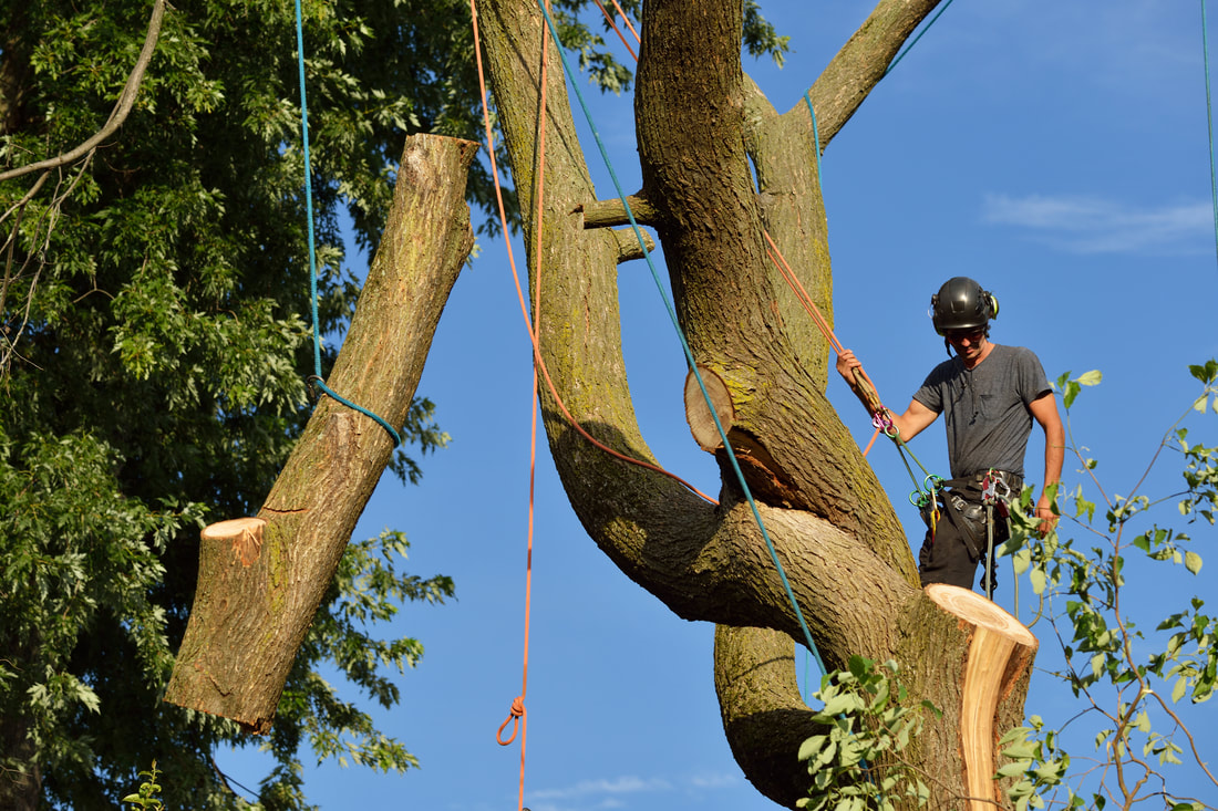 tree service man cutting down tree from top