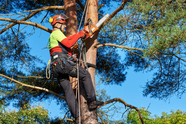 arborist with a chainsaw climbing a tree