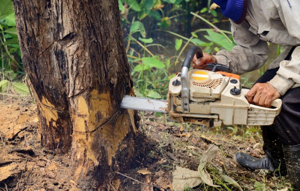 Cutting down a tree with a chain saw